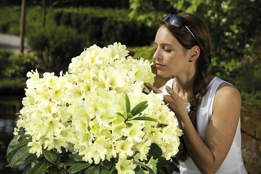 rhododendron neuheit gelbe dufthecke erweitert die. Black Bedroom Furniture Sets. Home Design Ideas